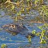 Gator, SNWR, SC