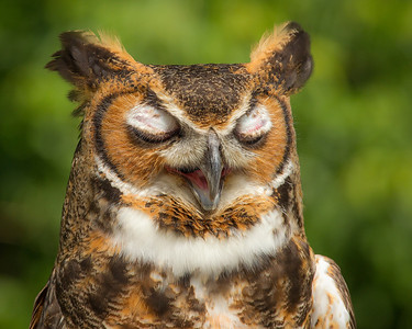 Great Horned Owl Sleep Talking :)