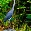 Tri Color Heron.  Shark Valley, Everglades National Park, South Florida.