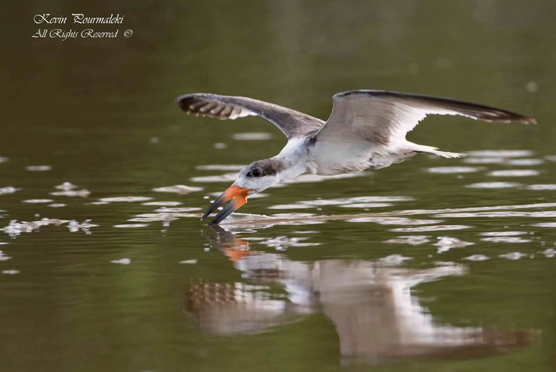 Black Skimmer. Everglades National Park, South Florida.