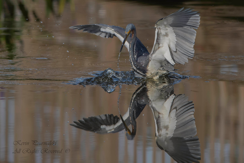 TriColored Heron, South Florida