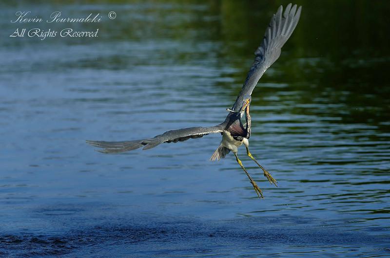 Tri Color Heron, Everglades Park, South Florida