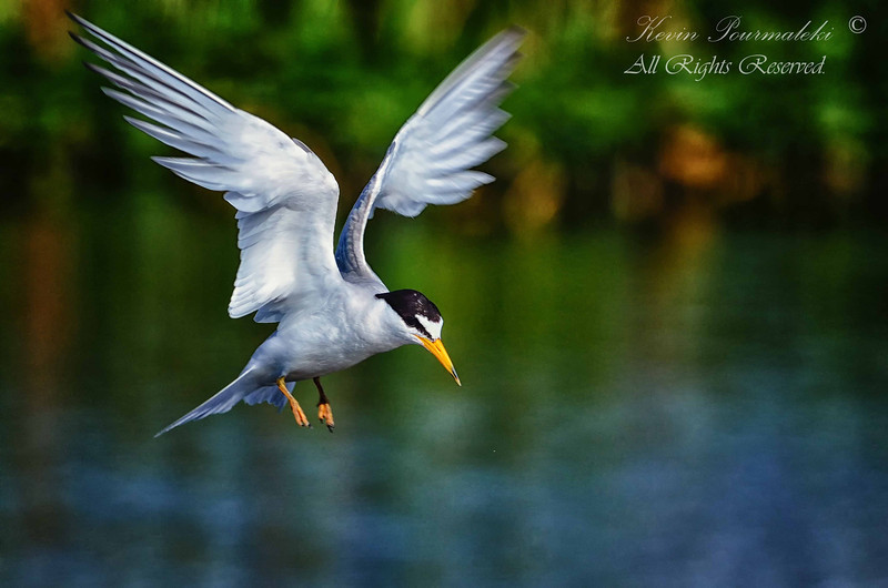 Least Tern. Everglades Park, South Florida