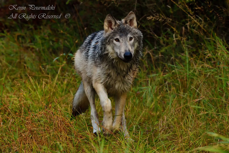 Gray Wolf. 3D Ranch. Columbia Falls, Montana.