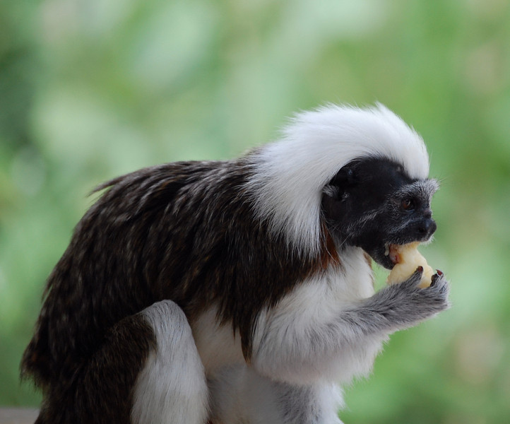 A  Cotton Top Tamarin enjoying a banana. <br /> Critically endangered due to habitat loss.<br /> Fun fact: eats mosquitos.