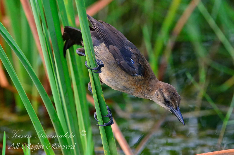 Boat Tailed Grackle.  Everglades Holiday Park, South Florida.