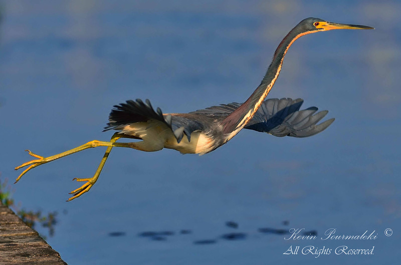 Tri Color Heron, Everglades Park, South Florida.