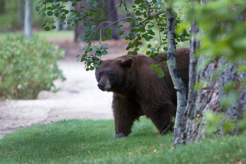 Female Brown Bear