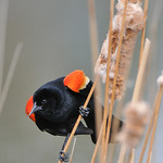 Redwing Blackbird 02