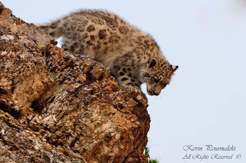 Snow Leopard Cub. 3D Ranch. Columbia Falls, Montana