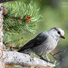 Gray Jay. Grand Teton National Park, Wyoming.