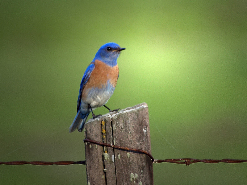 Blue bird taken in San Benito County.