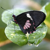 Butterfly on a Wet Leaf