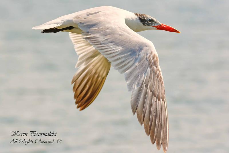 Caspian Tern.  Everglades National Park, South Florida.