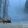 Elk. Yellowstone National Park, Wyoming.