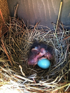 Baby bluebirds hatching today in the Triton nestbox!