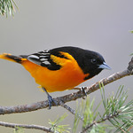 Baltimore Oriole 01