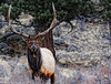 Bull Elk in Rocky Mountain National Park -- Estes Park Colorado