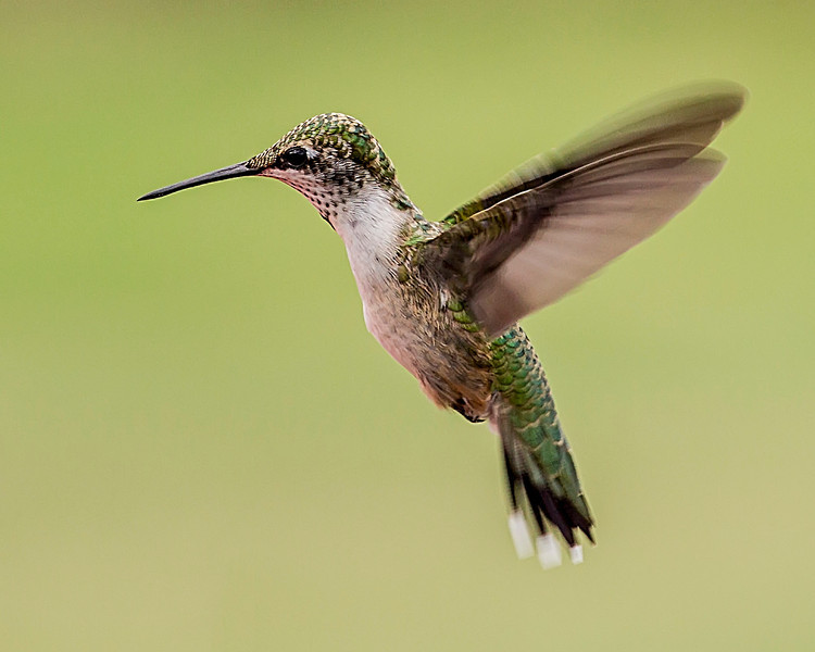 Hummingbird Flight Profile