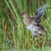 Purple Gallinule Chick.  South Florida.