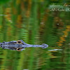 Alligator. Everglades Park, South Florida.