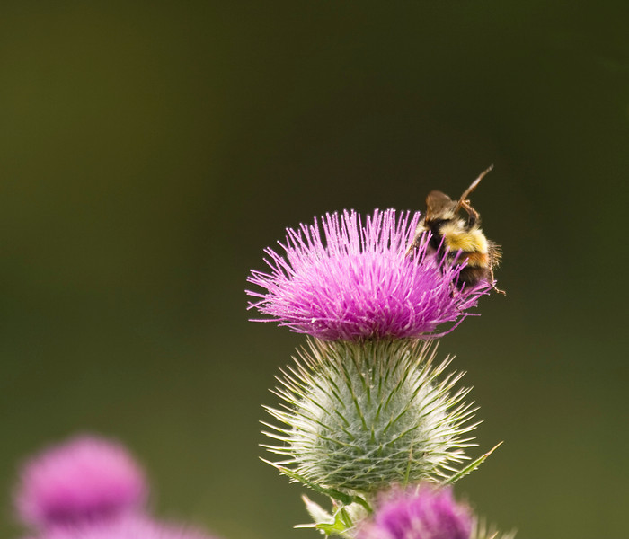 A common honey bee (apis mellifera) molesting a thistle.