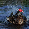 Muscovy Duck. Everglades Park, South Florida.