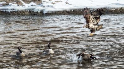 Worried Geese