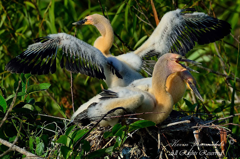 Anhinga Chicks. Shark Valley, Everglades National Park, South Florida.