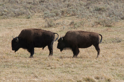 Buffalo on the range at Yellowstone National park