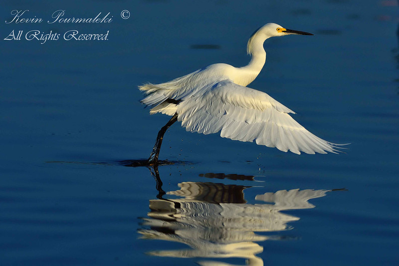 Snowy Egret, Everglades National Park.