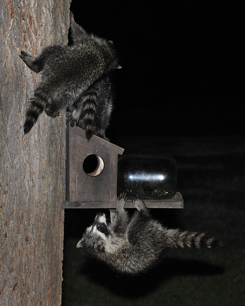Raccoons 02