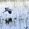 Great Blue Heron in flight, SNWR, SC