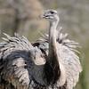 Emu II