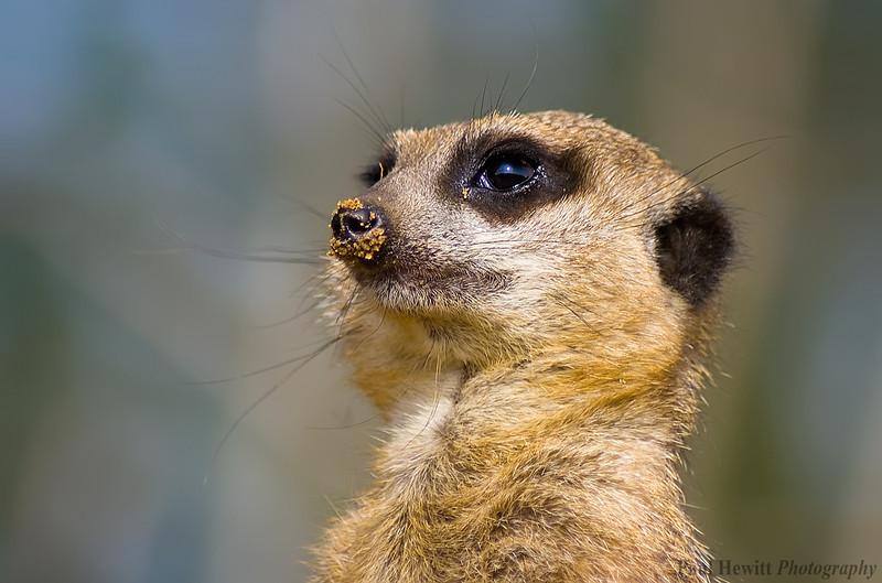 Marwell Zoo Meerkat