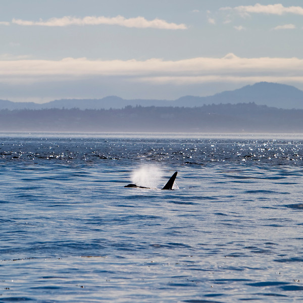 A killer whale exhaling a large breath of spray as it surfaces. This orca is in Puget Sound in the San Juan Islands.