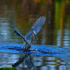Little Blue Heron.  Ever Glades Park.  South Florida.