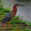 Green Heron, Everglades Park, South Florida.
