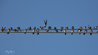 Swallows on lines