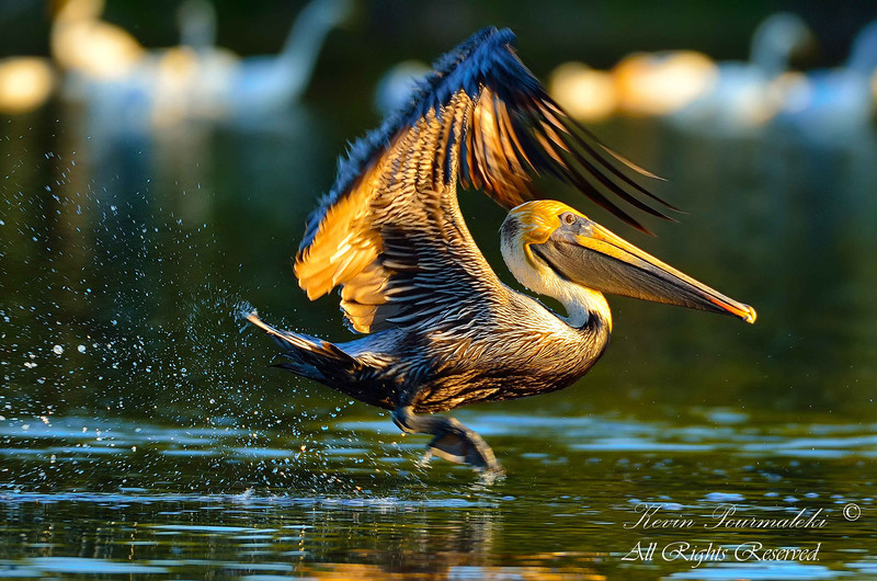Brown Pelican. Everglades National Park, South Florida