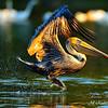Brown Pelican. Everglades National Park, South Florida