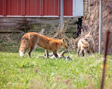 Red Fox  with three of her five pups