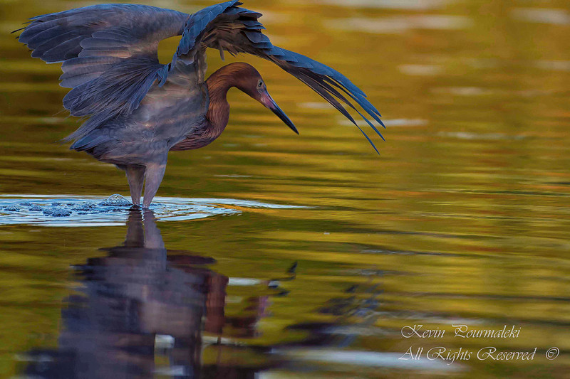 Reddish Egret.  Everglades National Park, South Florida.