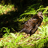 Weka bird taken along the Milford Track, Fiordland National Park.<br /> South Island, New Zealand
