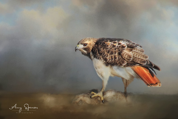 This was an image where a red-tailed hawk was eating road kill.  Neither the background nor the road kill was very desirable, so I felt using texture was a good choice.