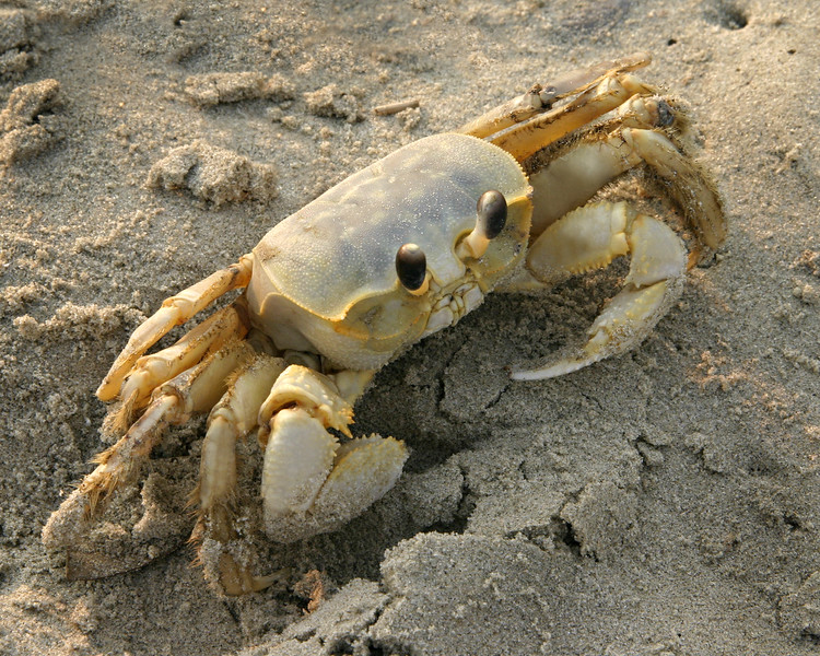 Crab on the beach at Sullivans Island, SC