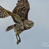 Burrowing Owl, South Florida.