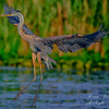 Blue Heron. Everglades Park, South Florida.