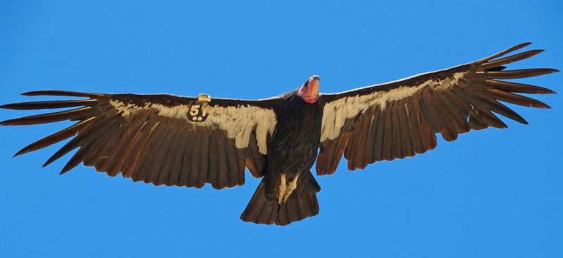 Condor. Big Sur, CA.