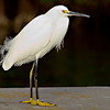 Little White Egret